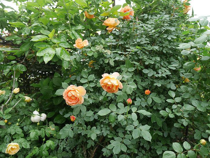 レディ・オブ・シャーロット(ツルバラ)の花がたくさん咲いた。2018年-10.jpg