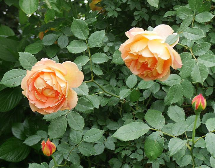レディ・オブ・シャーロット(ツルバラ)の花がたくさん咲いた。2018年-11.jpg