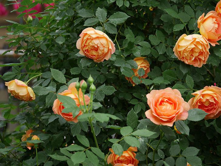 レディ・オブ・シャーロット(ツルバラ)の花がたくさん咲いた。2018年-12.jpg
