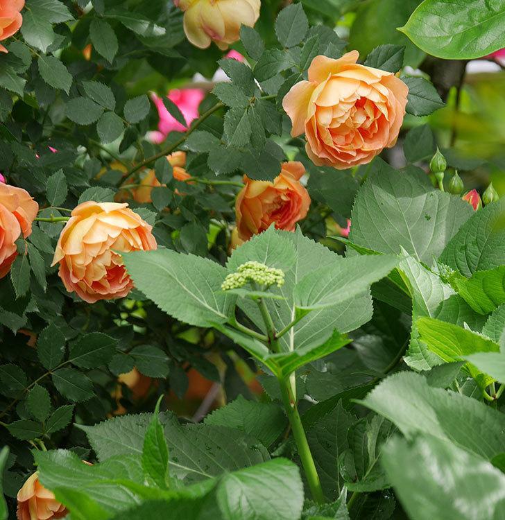 レディ・オブ・シャーロット(ツルバラ)の花がたくさん咲いた。2018年-13.jpg