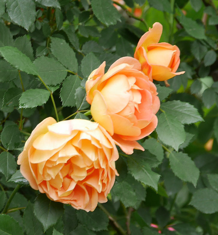 レディ・オブ・シャーロット(ツルバラ)の花がたくさん咲いた。2018年-15.jpg