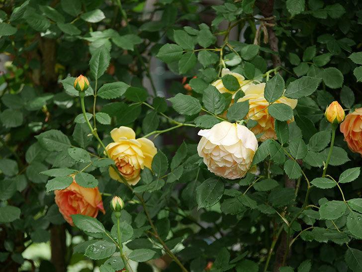 レディ・オブ・シャーロット(ツルバラ)の花がたくさん咲いた。2018年-17.jpg