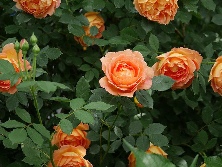 レディ・オブ・シャーロット(ツルバラ)の花がたくさん咲いた。2018年-19.jpg