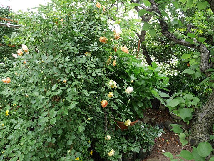 レディ・オブ・シャーロット(ツルバラ)の花がたくさん咲いた。2018年-2.jpg