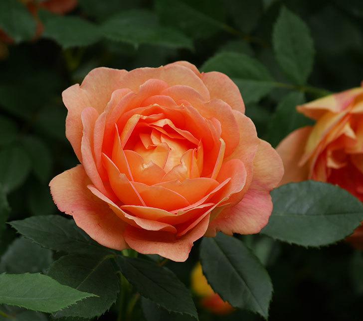 レディ・オブ・シャーロット(ツルバラ)の花がたくさん咲いた。2018年-20.jpg