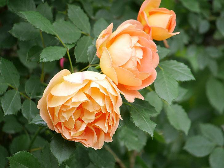 レディ・オブ・シャーロット(ツルバラ)の花がたくさん咲いた。2018年-21.jpg