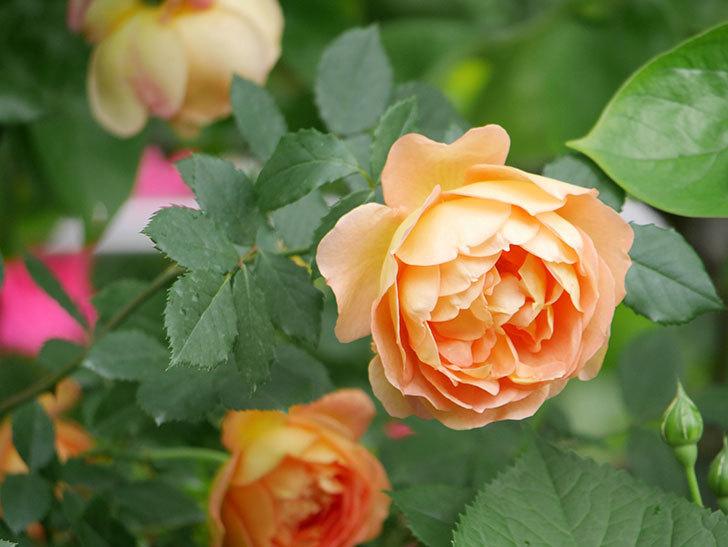 レディ・オブ・シャーロット(ツルバラ)の花がたくさん咲いた。2018年-22.jpg