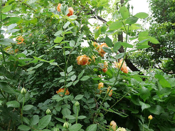 レディ・オブ・シャーロット(ツルバラ)の花がたくさん咲いた。2018年-3.jpg