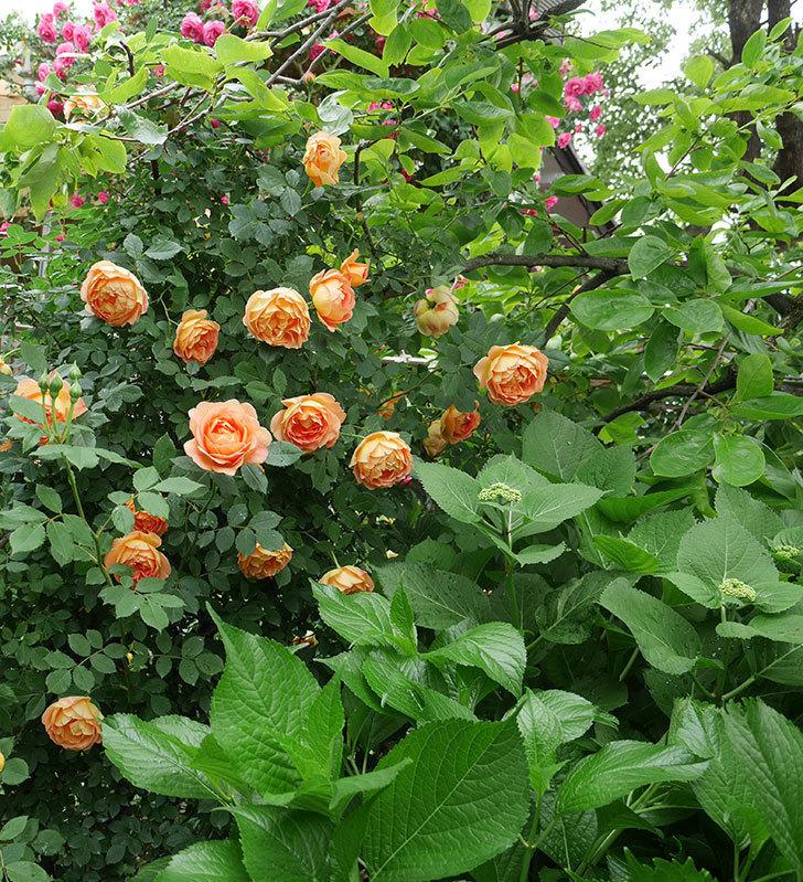 レディ・オブ・シャーロット(ツルバラ)の花がたくさん咲いた。2018年-4.jpg