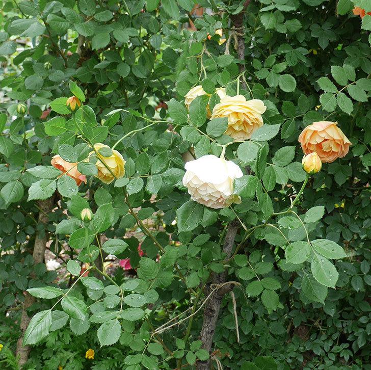 レディ・オブ・シャーロット(ツルバラ)の花がたくさん咲いた。2018年-6.jpg
