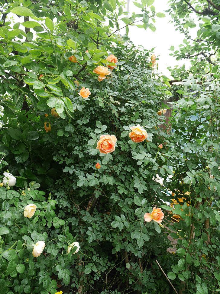 レディ・オブ・シャーロット(ツルバラ)の花がたくさん咲いた。2018年-9.jpg
