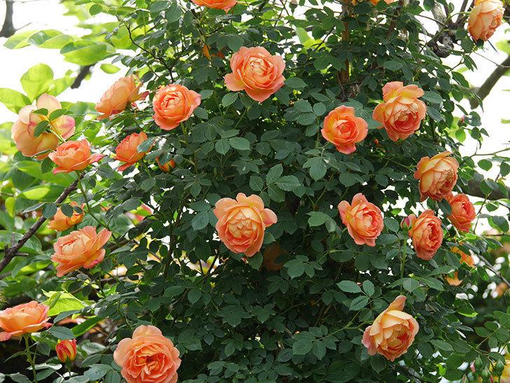 レディ・オブ・シャーロット(ツルバラ)の花がたくさん咲いた。2019年-1.jpg