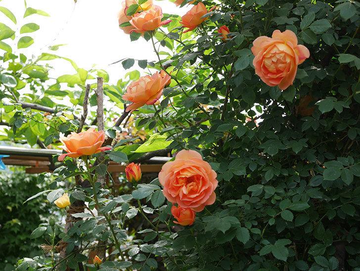 レディ・オブ・シャーロット(ツルバラ)の花がたくさん咲いた。2019年-10.jpg