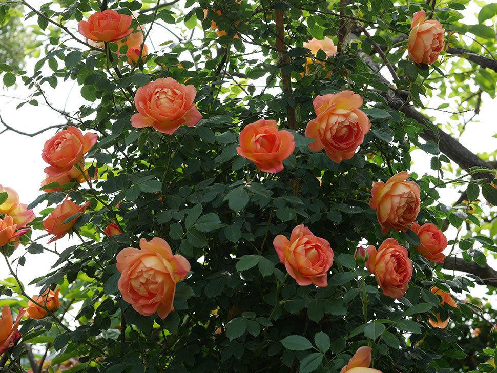 レディ・オブ・シャーロット(ツルバラ)の花がたくさん咲いた。2019年-11.jpg
