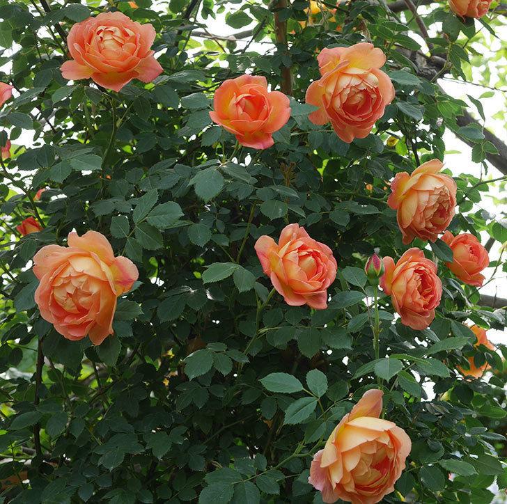 レディ・オブ・シャーロット(ツルバラ)の花がたくさん咲いた。2019年-12.jpg