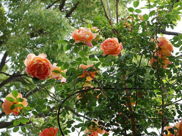 レディ・オブ・シャーロット(ツルバラ)の花がたくさん咲いた。2019年-14.jpg