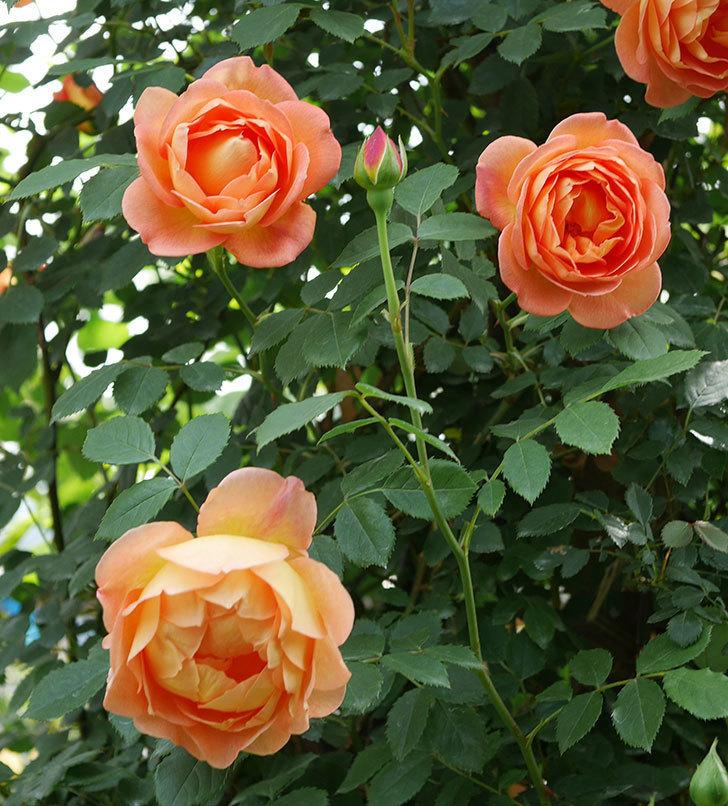 レディ・オブ・シャーロット(ツルバラ)の花がたくさん咲いた。2019年-15.jpg