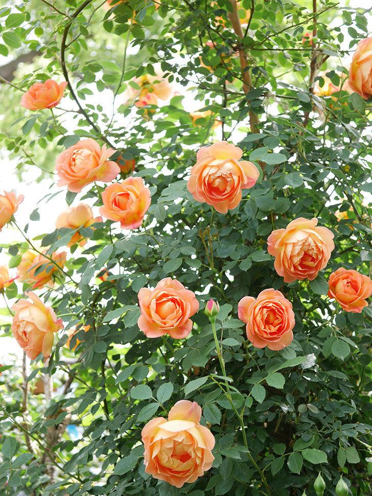 レディ・オブ・シャーロット(ツルバラ)の花がたくさん咲いた。2019年-16.jpg