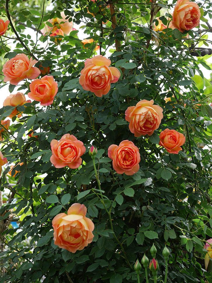 レディ・オブ・シャーロット(ツルバラ)の花がたくさん咲いた。2019年-17.jpg