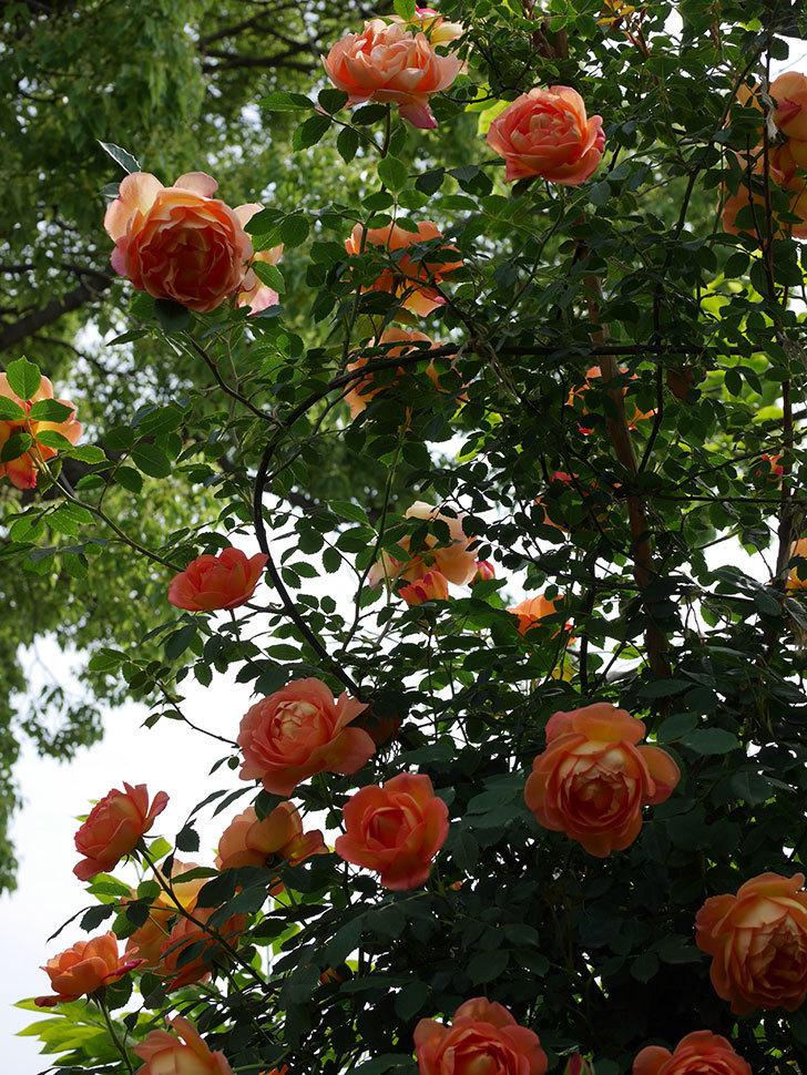 レディ・オブ・シャーロット(ツルバラ)の花がたくさん咲いた。2019年-18.jpg