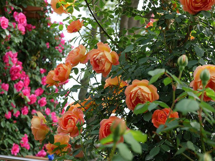 レディ・オブ・シャーロット(ツルバラ)の花がたくさん咲いた。2019年-19.jpg