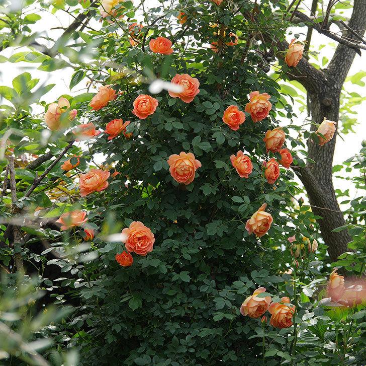 レディ・オブ・シャーロット(ツルバラ)の花がたくさん咲いた。2019年-2.jpg
