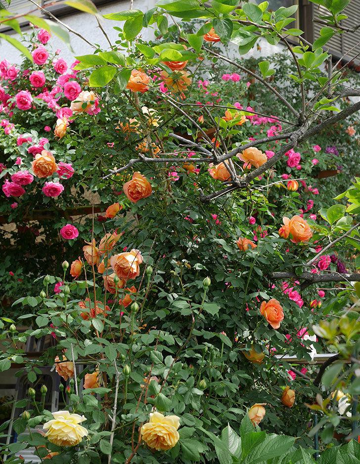 レディ・オブ・シャーロット(ツルバラ)の花がたくさん咲いた。2019年-20.jpg