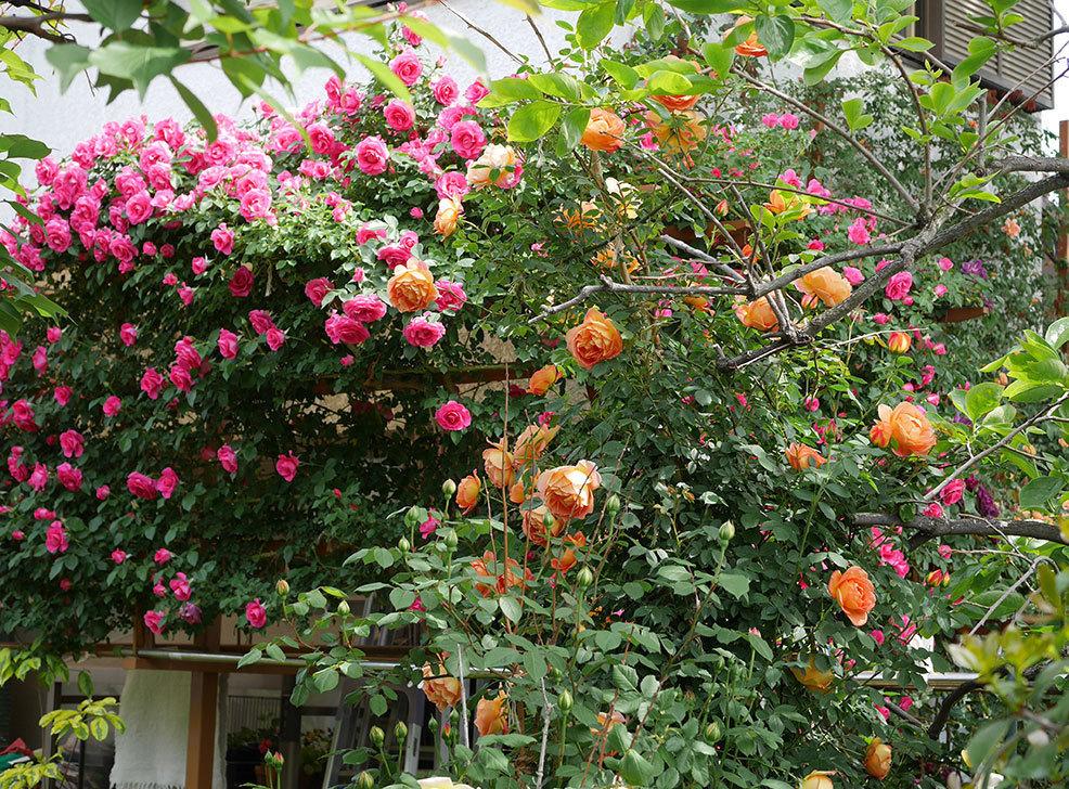 レディ・オブ・シャーロット(ツルバラ)の花がたくさん咲いた。2019年-21.jpg