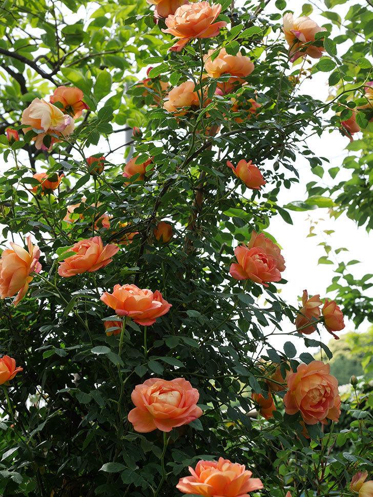 レディ・オブ・シャーロット(ツルバラ)の花がたくさん咲いた。2019年-22.jpg