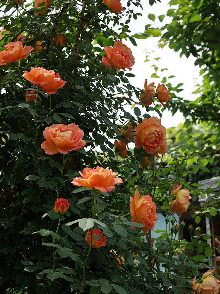 レディ・オブ・シャーロット(ツルバラ)の花がたくさん咲いた。2019年-24.jpg
