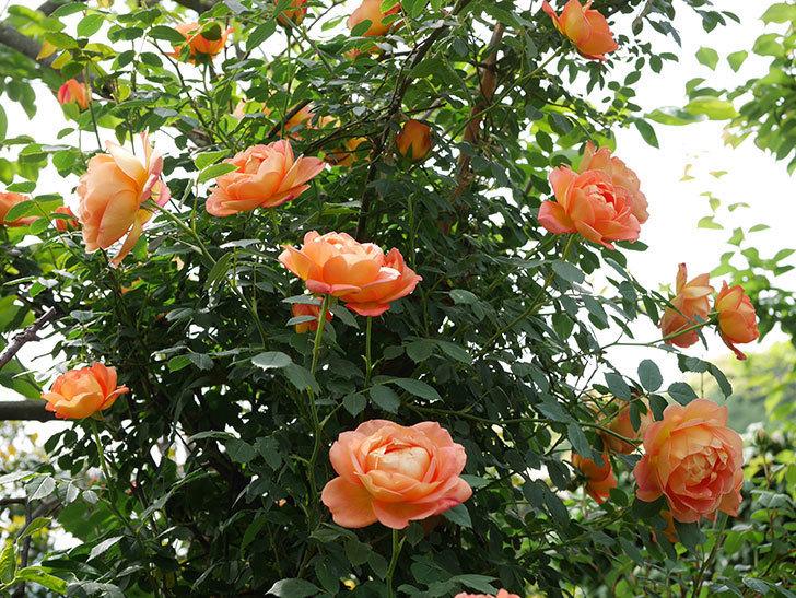 レディ・オブ・シャーロット(ツルバラ)の花がたくさん咲いた。2019年-26.jpg