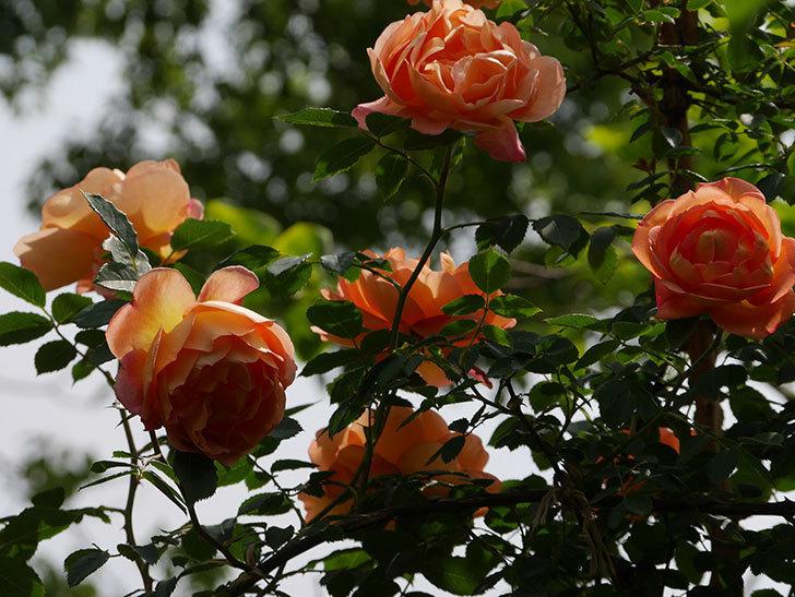 レディ・オブ・シャーロット(ツルバラ)の花がたくさん咲いた。2019年-4.jpg