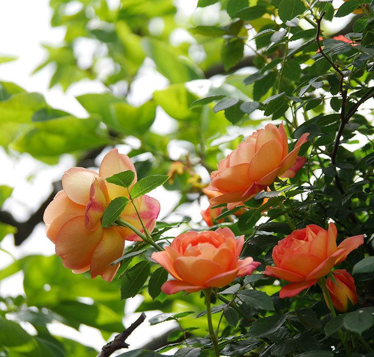 レディ・オブ・シャーロット(ツルバラ)の花がたくさん咲いた。2019年-5.jpg