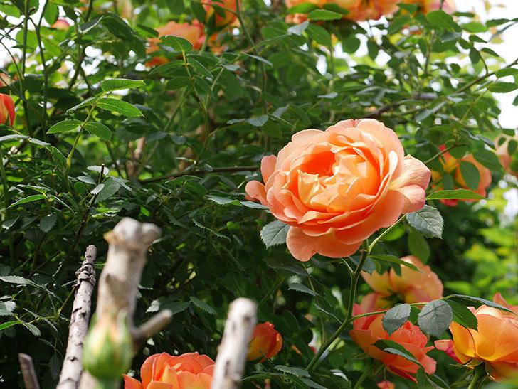 レディ・オブ・シャーロット(ツルバラ)の花がたくさん咲いた。2019年-7.jpg