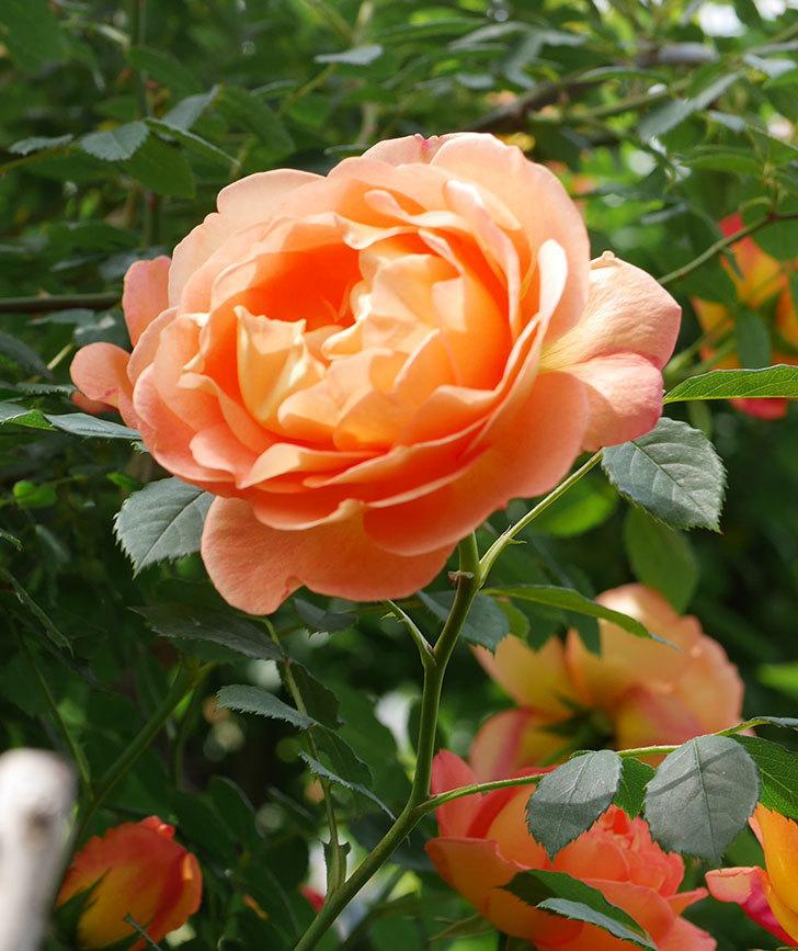 レディ・オブ・シャーロット(ツルバラ)の花がたくさん咲いた。2019年-8.jpg