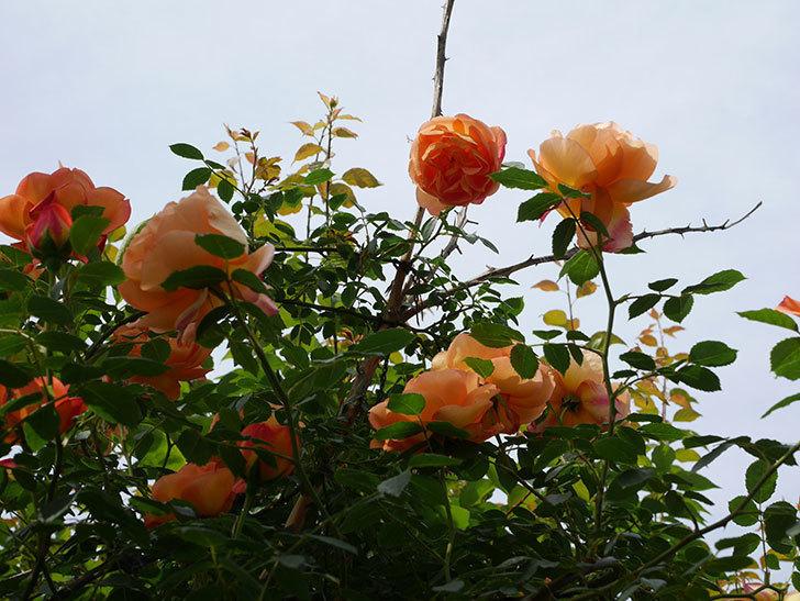 レディ・オブ・シャーロット(ツルバラ)の花がたくさん咲いた。2019年-9.jpg