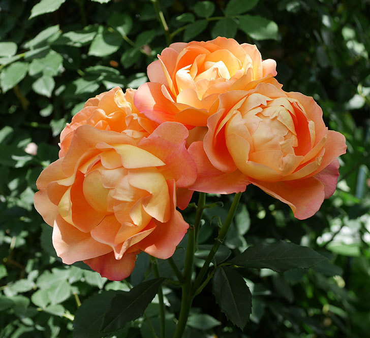 レディ・オブ・シャーロット(ツルバラ)の花がまた咲いた。2019年-1.jpg