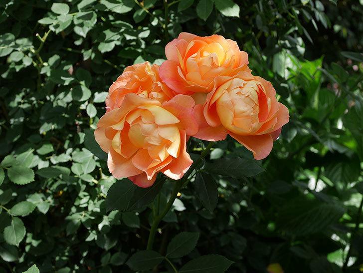 レディ・オブ・シャーロット(ツルバラ)の花がまた咲いた。2019年-2.jpg