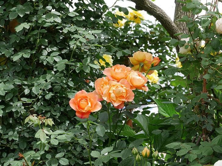 レディ・オブ・シャーロット(ツルバラ)の花がまた咲いた。2019年-3.jpg
