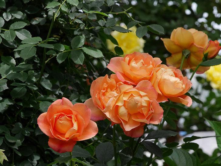 レディ・オブ・シャーロット(ツルバラ)の花がまた咲いた。2019年-4.jpg