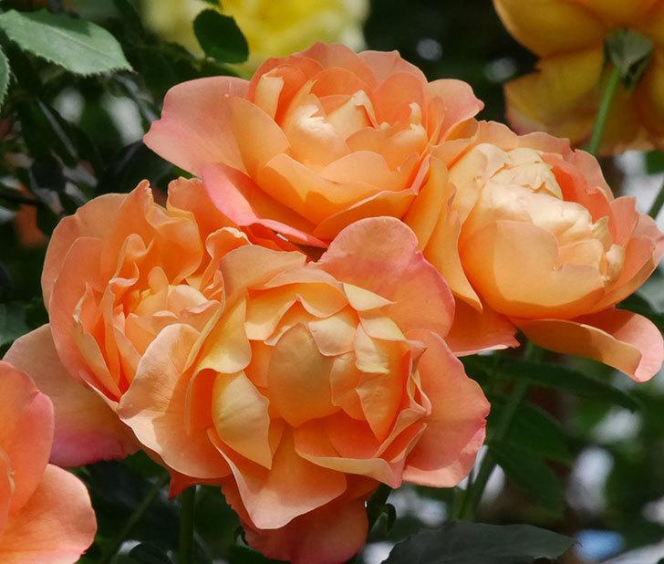 レディ・オブ・シャーロット(ツルバラ)の花がまた咲いた。2019年-5.jpg