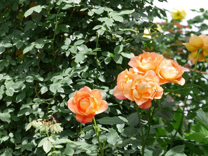 レディ・オブ・シャーロット(ツルバラ)の花がまた咲いた。2019年-6.jpg