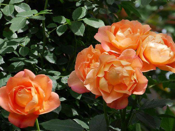 レディ・オブ・シャーロット(ツルバラ)の花がまた咲いた。2019年-7.jpg