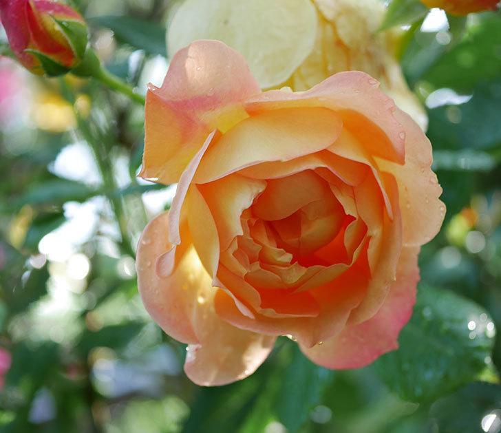 レディ・オブ・シャーロット(ツルバラ)の花がまた増えて来た。2018年-11.jpg