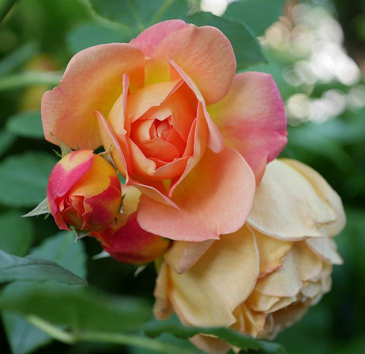 レディ・オブ・シャーロット(ツルバラ)の花がまた増えて来た。2018年-4.jpg