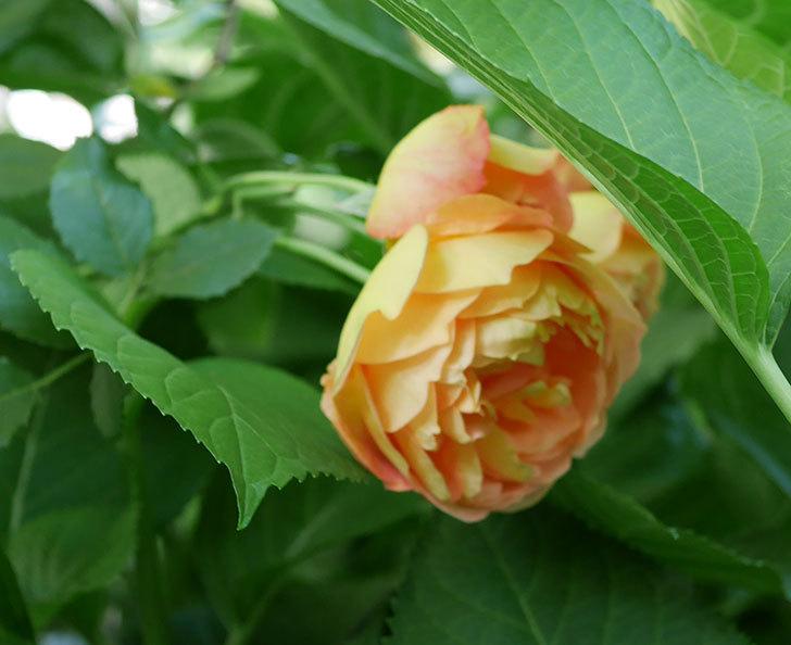 レディ・オブ・シャーロット(ツルバラ)の花がまた増えて来た。2018年-5.jpg