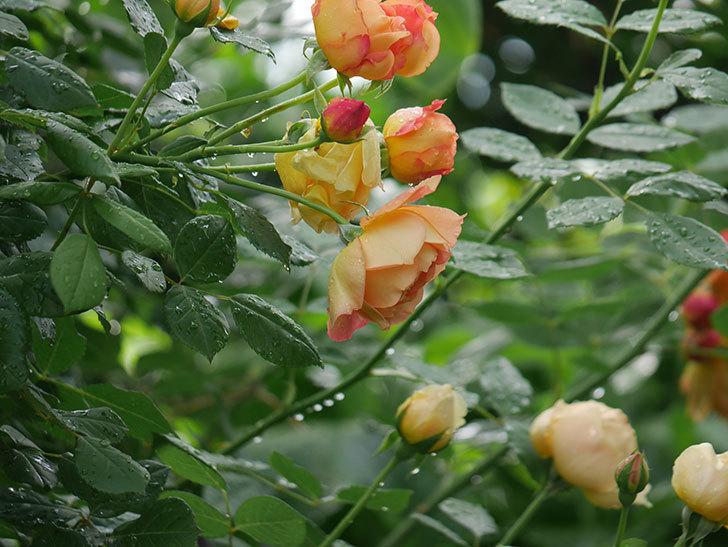レディ・オブ・シャーロット(ツルバラ)の花がまた増えて来た。2018年-8.jpg