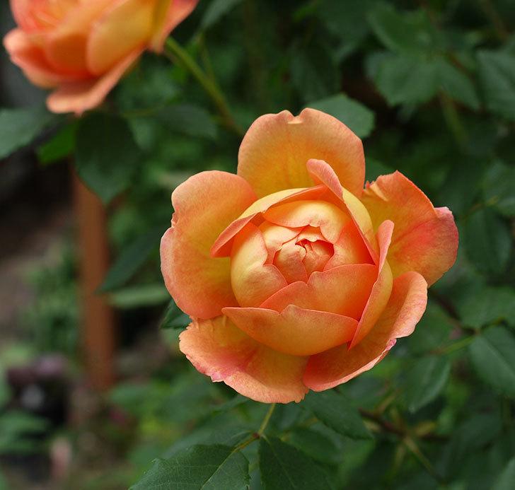 レディ・オブ・シャーロット(ツルバラ)の花が一気に増えた。2017年-10.jpg
