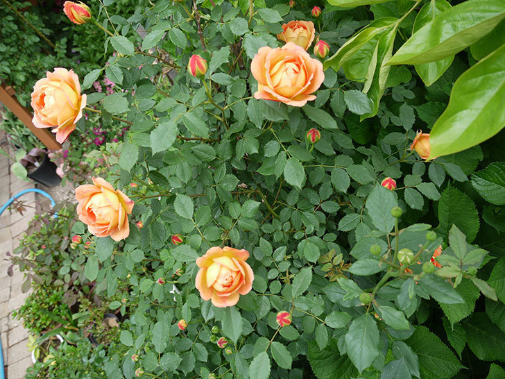 レディ・オブ・シャーロット(ツルバラ)の花が一気に増えた。2017年-11.jpg