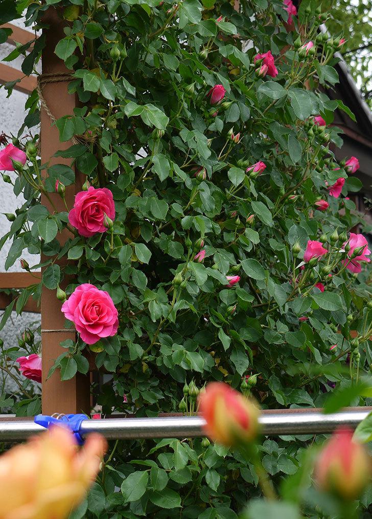 レディ・オブ・シャーロット(ツルバラ)の花が一気に増えた。2017年-12.jpg